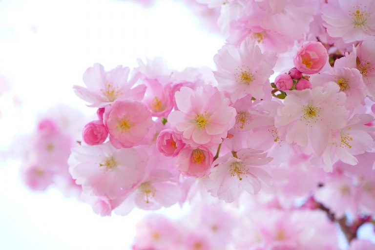 japanese cherry trees, flowers, spring